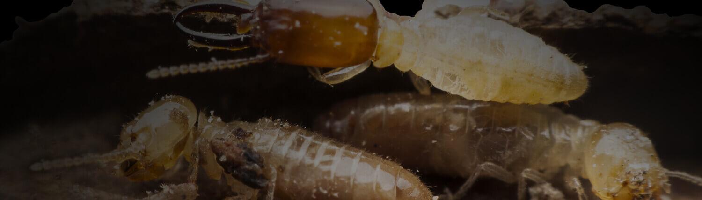 Waco S 1 Termite Control Company Texas Waco Pest Control