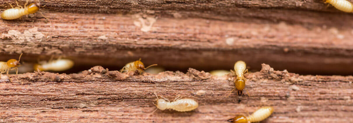 waco termites