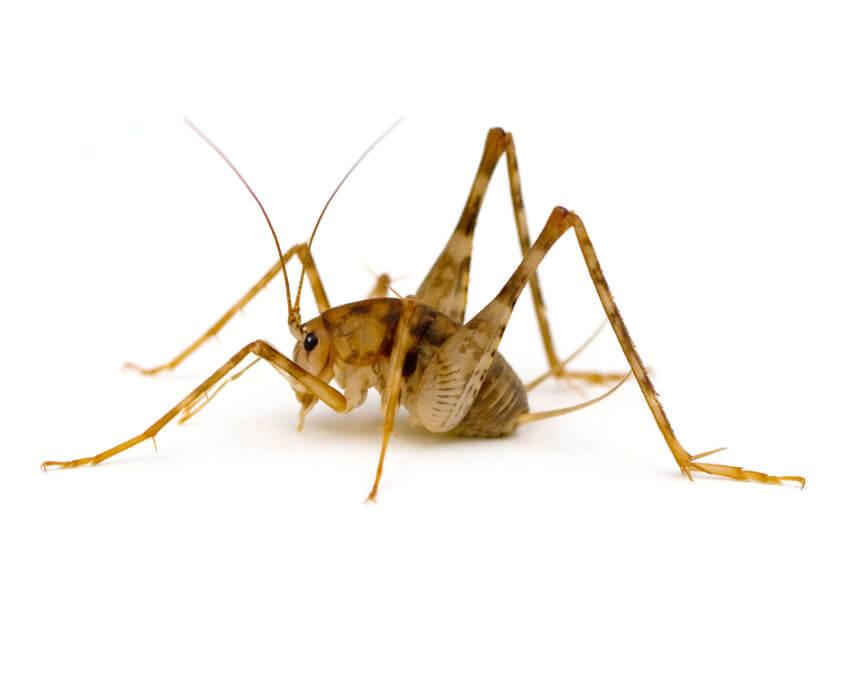 Waco Cricket Control