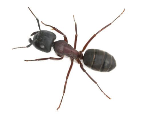 Waco Ant Control