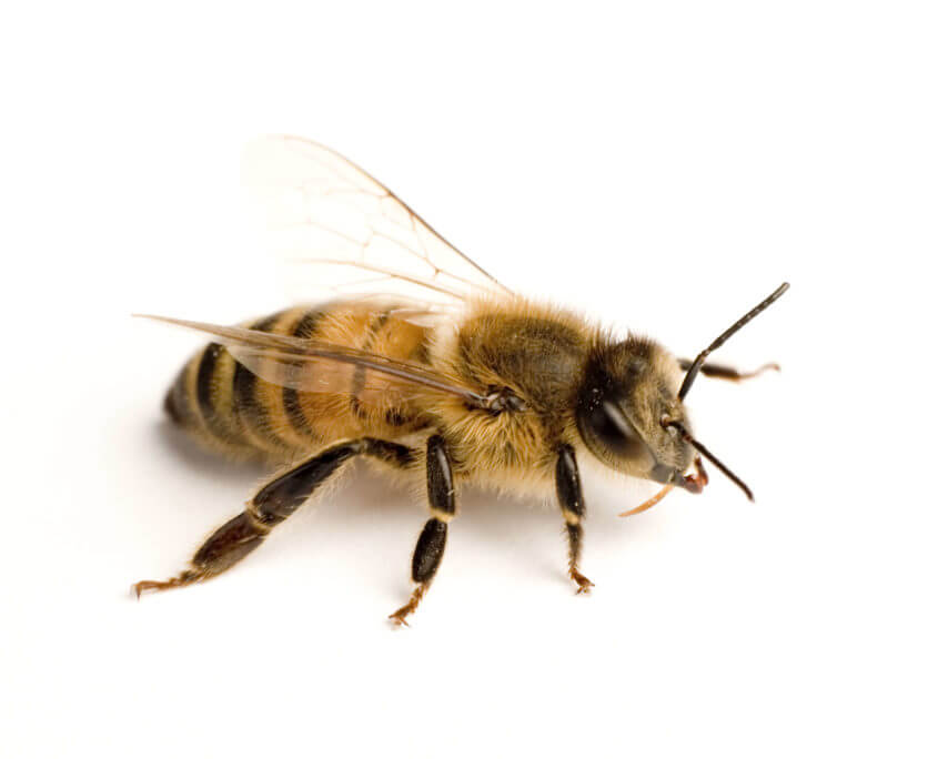 Waco Bee Removal