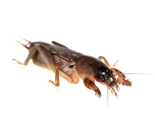 Waco Mole Cricket Control
