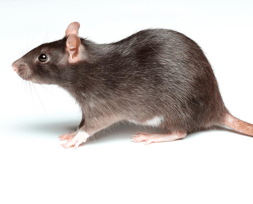 Waco Rat Control