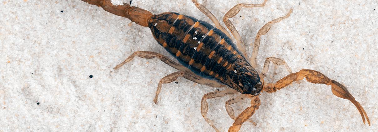 Waco Scorpion Control